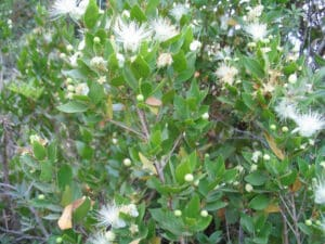 Wirral-means-Myrtle-corner-this-is-an-image-of-the-myrtle-plant