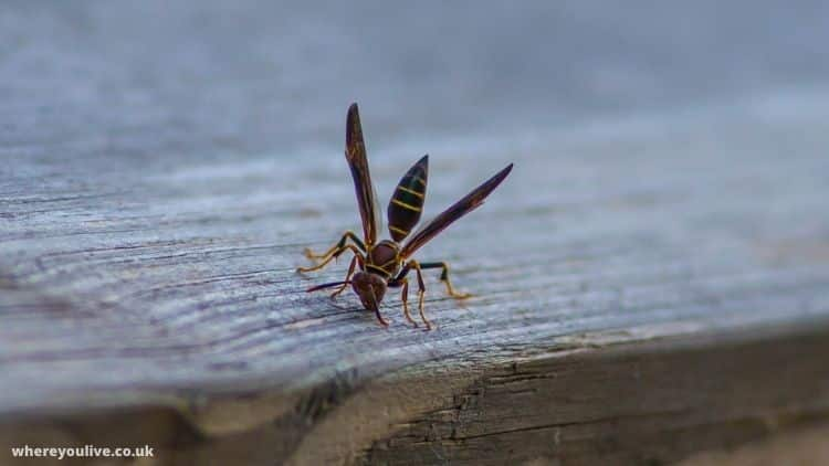 How big do wood wasps get?